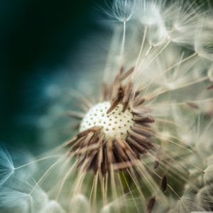 dandelion_seeds_macro_ipad-pro-wallpaper