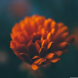 orange_flower_macro_3-4k-wallpaper